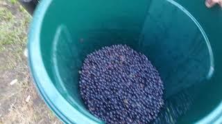 Собираем и делаем домашнее красное сухое вино, из винограда сорта Изабелла. Часть 1
