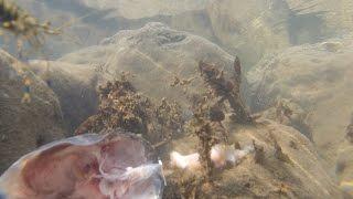 Они всегда приходят. Креветки и крабы. Черное море.(Если вы хоть раз чистили рыбу в море то наверняка наблюдали, как тут же откуда не возьмись появляются крабы..., 2016-12-01T15:08:41.000Z)