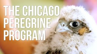 The Chicago Peregrine Program