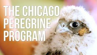 The Chicago Peregrine Program