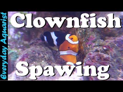Clownfish Breeding & Spawning In A Reef Tank