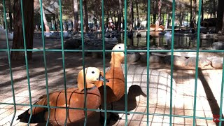 Muğla Sıtkı Koçman Ünversitesi Hayvanat Bahçesi / Angut Kuşu / MSKU