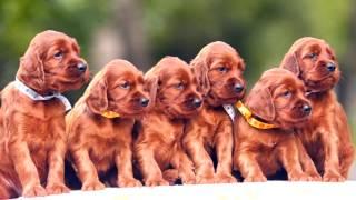 Ирландский красный сеттер щенки