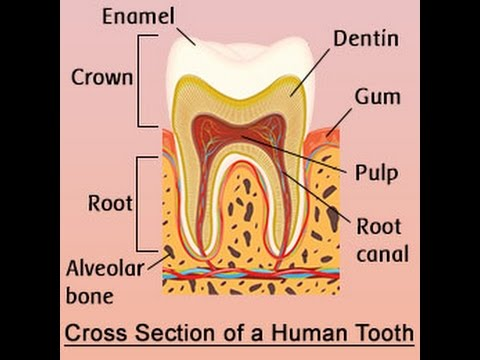 Human Tooth Anatomy With Labeled Diagrams Youtube