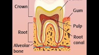 Human Tooth Anatomy With Labeled Diagrams