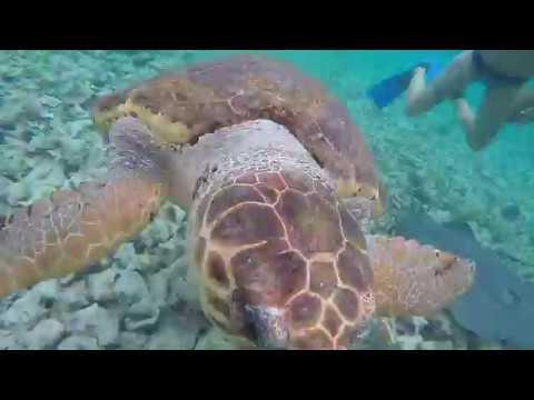 Sea Turtle in the Mesoamerican Barrier Reef