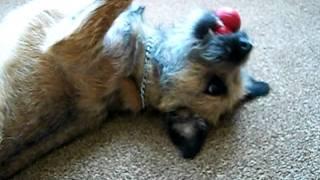 Stella Border Terrier