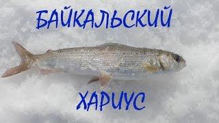 Зимняя рыбалка на Байкале 2016. Ловим хариуса.(В Байкал впадает 336 постоянных рек и ручьев, при этом половину объема воды, поступающей в озеро, приносит..., 2016-04-05T11:17:35.000Z)
