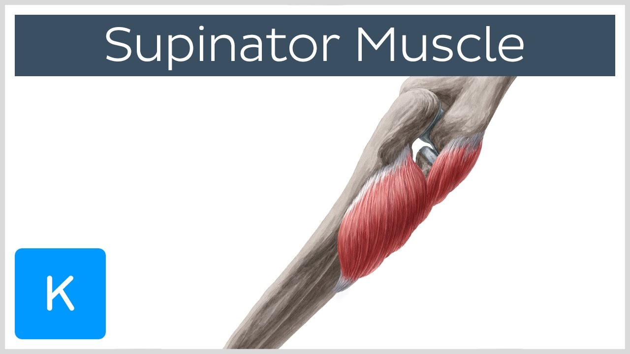 supinator muscle - origin, insertion, innervation, function, Muscles