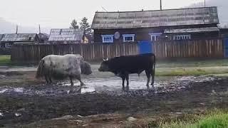 Жителей Бурятии впечатлила схваткой яка с быком.