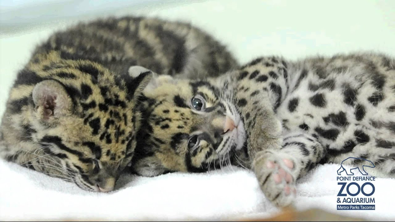 sleeping clouded leopard cubs at point defiance zoo youtube