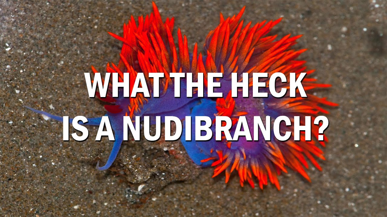 What Is A Nudibranch Youtube