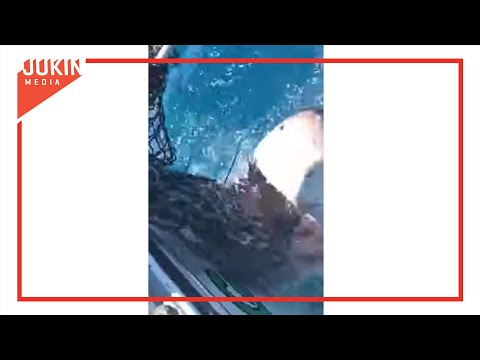 Hungry Great White Shark Eats Fishing Net On Boat
