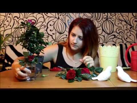Комнатная роза! Уход и продление ей жизни.