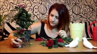 видео Комнатная роза. Уход и особенности выращивания