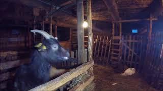 Недостаток витамина B1 у коз. Полиоэнцефаломаляция. || Жизнь в деревне.
