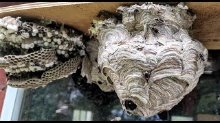"Hornets Attack in Slow-Mo | ""Hornets"" Nest Removal in Slow Motion 