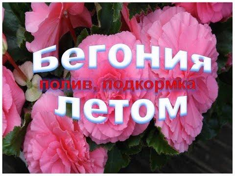✿ღ ✿Красавица бегония цветение летом Полив,подкормка  во время  цветения бегонии ✿ღ ✿
