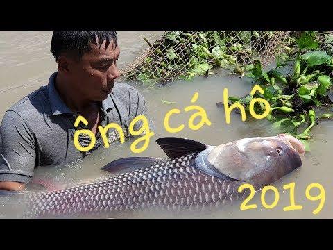 Cá Hô Khổng Lồ Xuất Hiện Tại Sóc Trăng, Loài Cá Có Thể đạt Vài Trăm Ký   Săn Bắt SÓC TRĂNG  