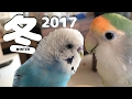 2017年・ 冬 コザクラインコ・セキセイインコ ぱせり・うめ LoveBird  Budgerigar