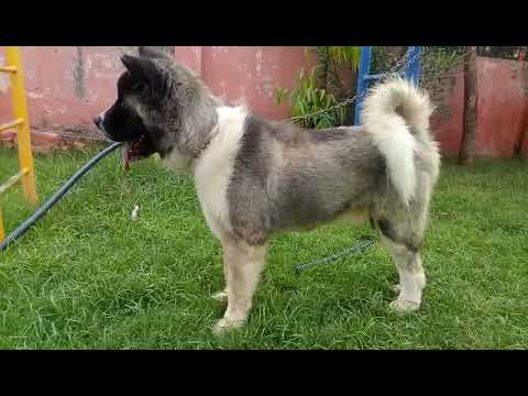 American Akita pups show quality breed for sale delhi mumbai pune kolkata chandigarh jaipur vadodra