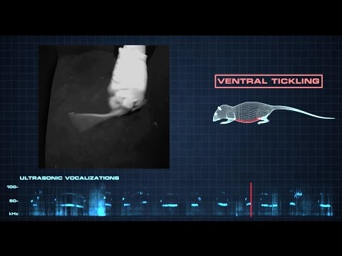 What happens when you tickle a rat?   Science News