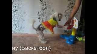 Дрессировка Китайской Хохлатой собаки 2015г