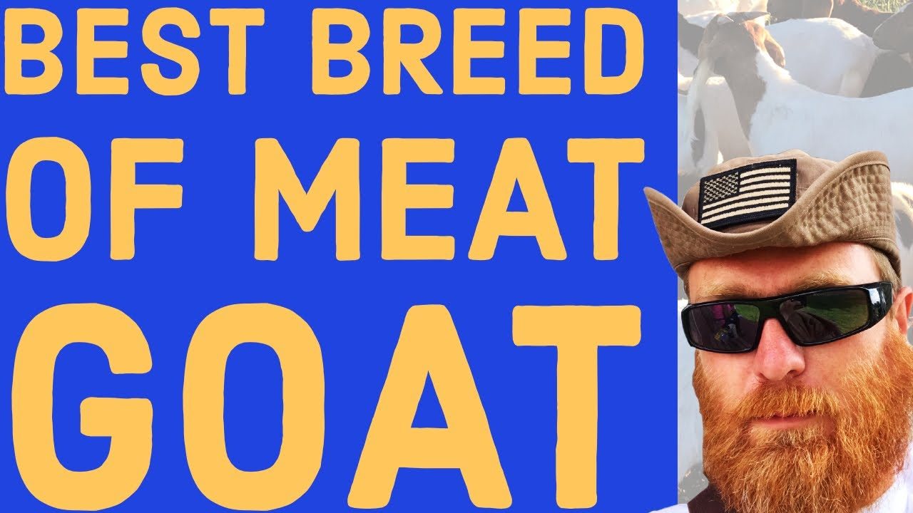 What is the Best Breed of Meat Goat?
