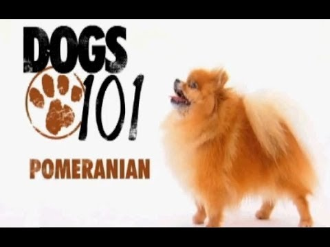 Dogs 101 Pomeranian Youtube