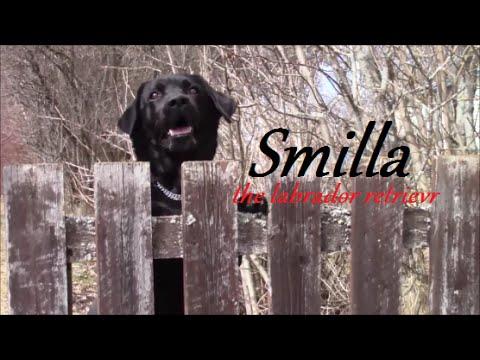 smilla the labrador retriever tricks