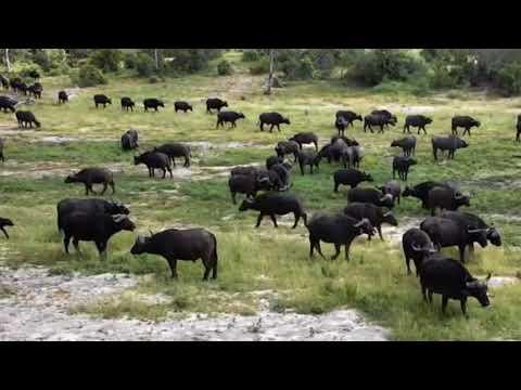 Djuma dam cam feb 10 2018 - massive herd of buffalo`s