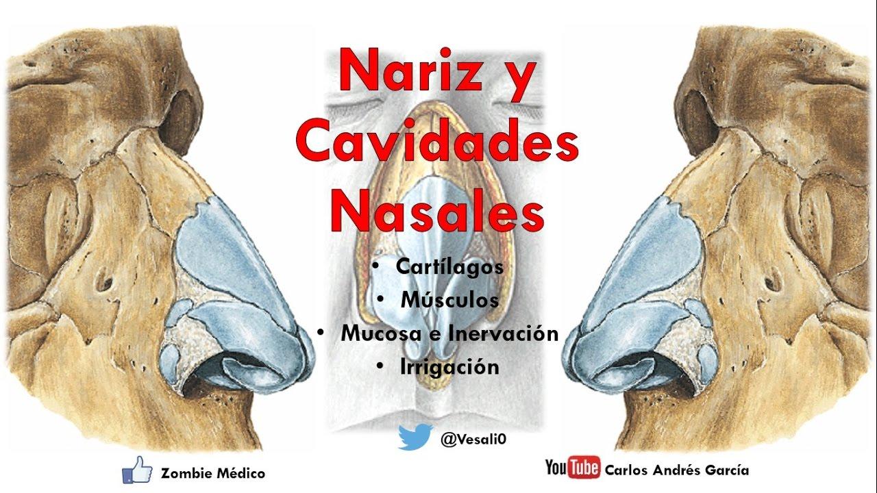 Anatomía - Nariz y Cavidades Nasales (Linfáticos, Inervación ...