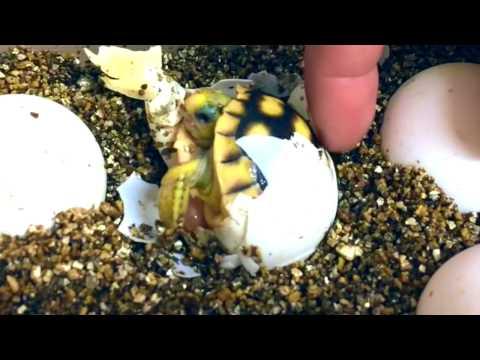 Gopher Tortoise - Birth