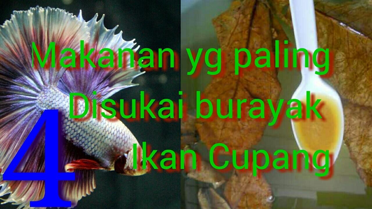 4 Makanan Burayak Ikan Cupang Terbaik Umur 0 30 Hari Youtube
