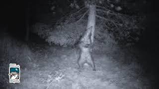Parco Majella, orso si gratta beatamente su grosso albero