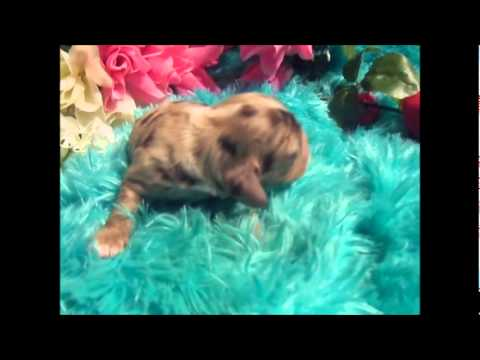 dugan cocker spaniel puppy for mary s cocker haven http www maryscockerhaven com 3853