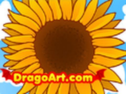 Sunflower Line Drawing : How to draw a sunflower sunflowers step by youtube