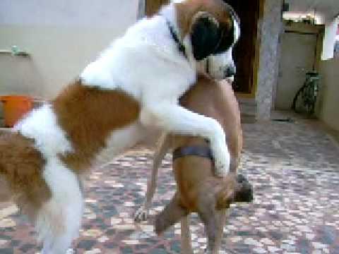 My Saint Bernard Pupy And Great Dane Playin In Back Yard