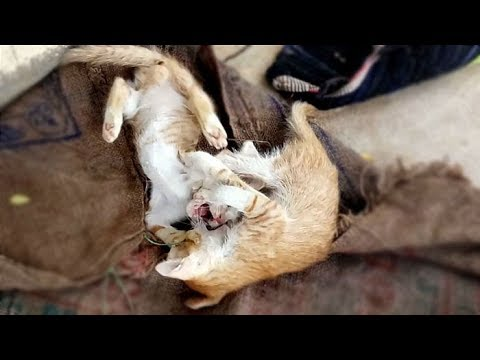 Two Baby Cats Play Fight /Funniest Cat Fight /Funny Cats Fighting