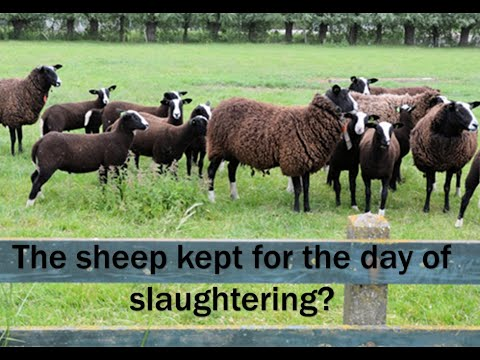 Do not become the sheep kept for the day of slaughtering