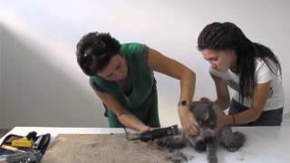 Стрижка кота под льва в домашних условиях (груминг, gruming)