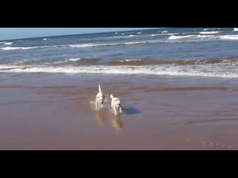 Bichon Frise Dogs having fun at the Beach