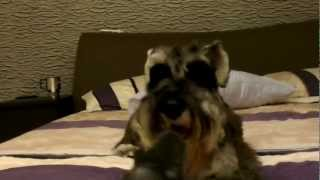 Miniature Schnauzer Afraid Of Gun