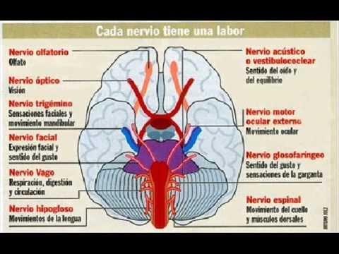 breve historia del cerebro pdf