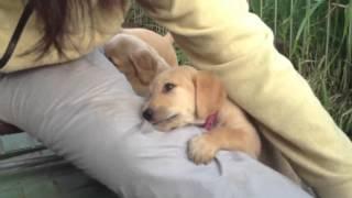 F1ラブラドゥードルの子犬たち、生後44日目。9匹で娘を襲います。