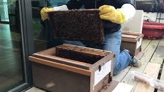 旺哥贈送一隻剛出台的處女蜂今天天氣很好,查箱順便介王一查蜂,找老王...