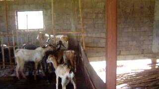 Organic Goat Farm at Tarna, Mangaon, Raiagd, Maharashtra, India