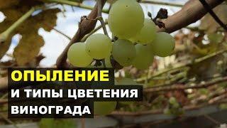 видео Искусственное опыление винограда