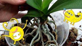 КАК ПРАВИЛЬНО ПЕРЕСАЖИВАТЬ ОРХИДЕИ? ГОРШКИ-КОРОНЫ.(В этом видео покажу, как быстро и просто пересаживать орхидеи, дам советы, также покажу новинки для орхидей..., 2016-03-23T14:45:09.000Z)