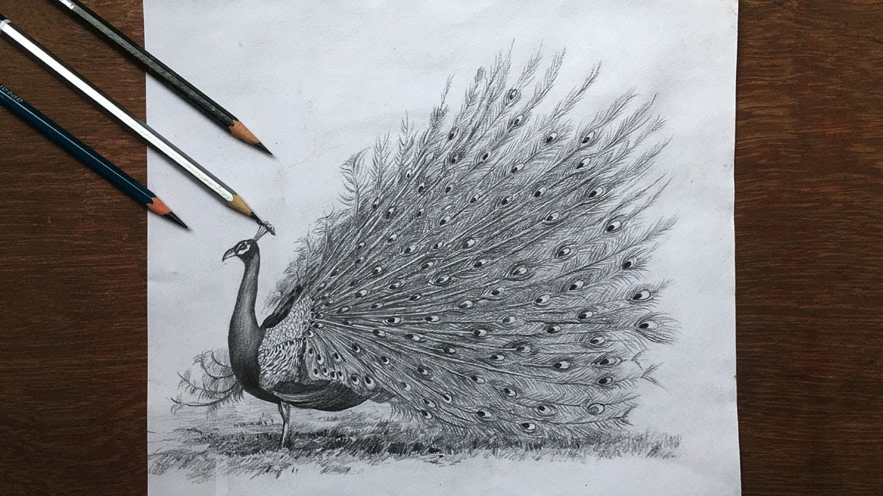 Drawing a dancing peacock in pencil peacock drawing step by step bird pencil sketch